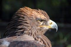 Ein Adler, der die Sonne untersucht Stockfotografie