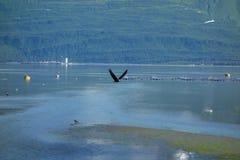 Ein Adler, der Flug am valdez, Alaska nimmt Lizenzfreie Stockfotografie