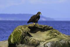 ein Adler siitting auf dem Felsen Stockbilder