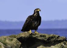 ein Adler siitting auf dem Felsen Lizenzfreie Stockfotos