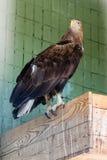 Ein Adler und ein Falke sitzen auf abranch Lizenzfreies Stockfoto