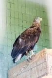 Ein Adler und ein Falke sitzen auf einer Niederlassung Lizenzfreie Stockfotografie