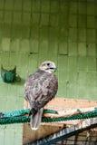 Ein Adler und ein Falke sitzen auf einer Niederlassung Stockfotografie