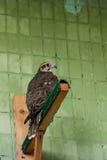 Ein Adler und ein Falke sitzen auf einer Niederlassung Stockbilder