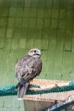 Ein Adler und ein Falke sitzen auf einer Niederlassung Lizenzfreie Stockfotos