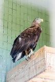 Ein Adler und ein Falke sitzen auf einer Niederlassung Lizenzfreies Stockbild