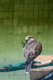 Ein Adler und ein Falke sitzen auf einer Niederlassung Lizenzfreie Stockbilder