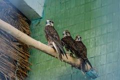 Ein Adler und ein Falke sitzen auf einer Niederlassung Stockfotos
