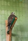 Ein Adler und ein Falke sitzen auf einer Niederlassung Stockbild