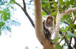 Ein Affe auf dem Baum Lizenzfreies Stockfoto
