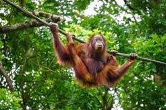 Ein Affe auf dem Baum Lizenzfreies Stockbild