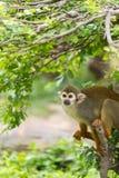 Ein Affe auf dem Baum Stockfotos