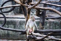 Ein Affe auf dem Brunch stockfotos