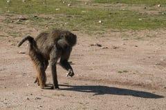 Ein Affe auf dem Gebiet Stockbilder