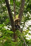 Ein Affe auf einem Baum beim Suchen nach Lebensmittel Stockfoto