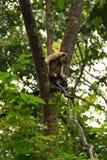 Ein Affe auf einem Baum beim Suchen nach Lebensmittel Stockfotos