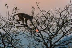 Ein Affe auf einem Baum und einer roten Sonne Stockbild