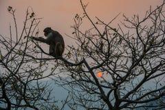 Ein Affe auf einem Baum und einer roten Sonne Lizenzfreies Stockfoto