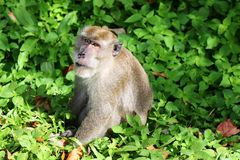 Ein Affe bei Koh Lanta National Park, Krabi Lizenzfreies Stockbild