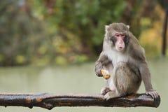 Ein Affe beim Essen Stockbilder