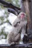 Ein Affe beim Essen Lizenzfreie Stockfotos