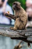 Ein Affe, der Apple isst Lizenzfreies Stockbild