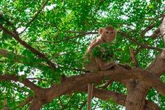 Ein Affe, der auf dem Baum mit grünen Blättern lebt Stockfotos