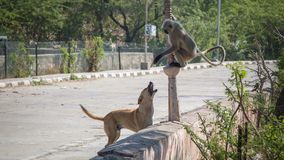 Ein Affe, der auf einem Baum nahe einem See in Jaipur stillsteht Stockbilder