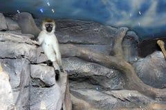 Ein Affe, der auf einem Baum sitzt Lizenzfreies Stockfoto