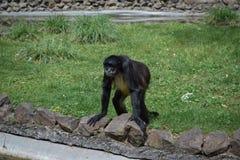 Ein Affe, der auf einem Gras sich lehnt an einem Zaun von Teichen steht Lizenzfreie Stockbilder