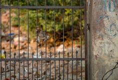 Ein Affe, der auf einem Zaun in Indien klettert Lizenzfreie Stockbilder