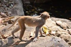Ein Affe, der auf Stein mit sehr sorgfältig geht Stockfoto