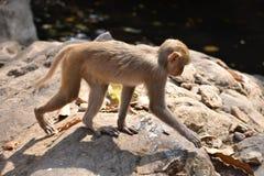 Ein Affe, der auf Stein mit sehr sorgfältig geht Lizenzfreies Stockbild