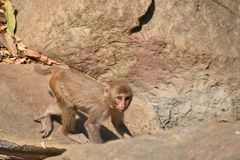 Ein Affe, der auf Stein mit sehr sorgfältig geht Stockfotos