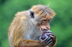 Ein Affe, der eine Avocado isst Stockfotos