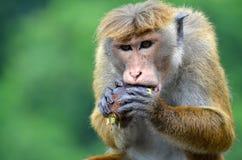 Ein Affe, der eine Avocado isst Stockfotografie