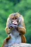 Ein Affe, der eine Avocado isst Stockbilder