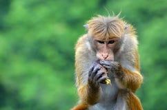 Ein Affe, der eine Avocado isst Lizenzfreie Stockfotografie