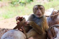 Ein Affe, der eine Kokosnuss beißt Lizenzfreies Stockfoto