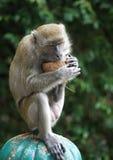 Ein Affe, der eine Kokosnuss isst Lizenzfreie Stockfotografie