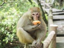 Ein Affe, der einen Apfel sitzt auf dem Gehweg an Yuanjiajie-Berg, Wulingyuan-Naturschutzgebiet, Zhangjiajie nationaler isst, For Lizenzfreie Stockfotografie