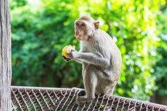 Ein Affe, der einen Mais isst Stockfotografie
