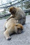Ein Affe, der einen zweiten Affen streichelt Lizenzfreies Stockfoto