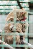 Ein Affe, der für anderen sich interessiert Stockfotografie