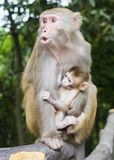 Ein Affe, der ihr Baby an Yuanjiajie-Berg, Wulingyuan-Naturschutzgebiet, Zhangjiajie nationaler Forest Park, Provinz Hunan einzie Stockfotos