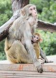 Ein Affe, der ihr Baby an Yuanjiajie-Berg, Wulingyuan-Naturschutzgebiet, Zhangjiajie nationaler Forest Park, Provinz Hunan einzie Lizenzfreie Stockfotos