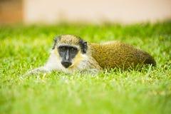 Ein Affe, der im Gras liegt Lizenzfreie Stockfotos
