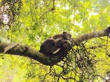 Ein Affe, der im Wald schläft Lizenzfreie Stockfotografie