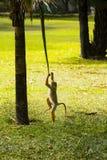 Ein Affe, der mit einem Urlaub und einem Baum spielt Lizenzfreie Stockbilder