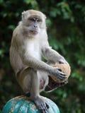 Ein Affe, der mit einer Kokosnuss spielt Lizenzfreies Stockbild